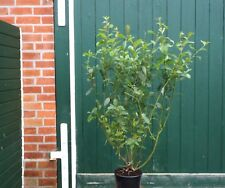 Salweide Weide Salix caprea 60 - 100 cm Kätzchenweide Bieneneide im Container