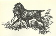 Wirehaired Pointing Griffon - 1964 Dog Print - Matted