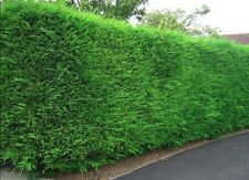 10X LARGE 3-4FT GREEN LEYLANDII TREES - EVERGREEN HEDGING PLANTS - 2/3L POTTED