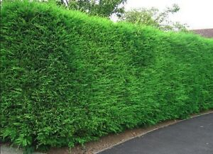 10X LARGE 3FT GREEN LEYLANDII TREES - EVERGREEN HEDGING PLANTS - 2/3L POTTED
