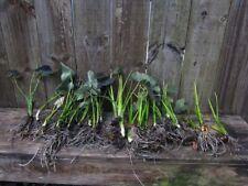 Box Full 30 plants Black Taro Plant Colocasia Esculenta Elephant Ear Coal Miner