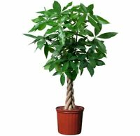 1 Seed Pachira aquatica Money Tree Beautiful Bonsai Potted Plants in Home Garden
