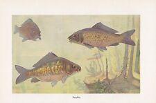 Karpfen Cyprinus carpio Spiegelkarpfen Farbdruck von 1914 Lederkarpfen