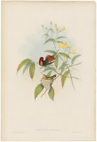Gould Hummingbirds antique h/c lithograph w/gold leaf Pl 204 Ruby and Topaz
