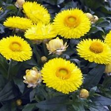 Strawflower- Yellow- 200 Seeds       -     50 % off sale