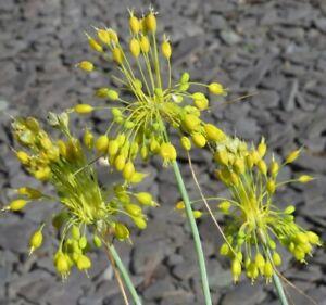 Allium Flavum(Yellow Flowered Garlic) -Hardy Rockery Perennial Plant in 9cm Pot