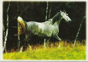 Horse Postcard -Arabian Philli