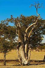 Moringa oleifera, rare flowering drumstick tree bonsai exotic plant seed 5 seeds