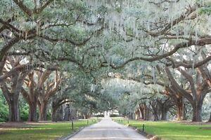 Avenue of Oaks, Charleston Photography, Live Oaks Photo Print/ Canvas Wall Art