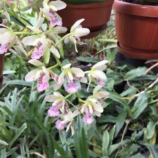 Sedirea Phalaenopsis Japonica Naturform Orchidee Species duftend