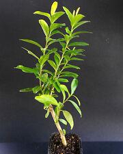 Kei Apple - Dovyalis caffra - Plant