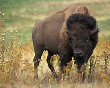 American Bison Buffalo 8X10 Photo Usda