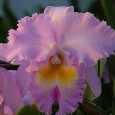 Blc Pamela Hetherington 'Coronation' Fcc/Aos, orchid plant, shipped in pot