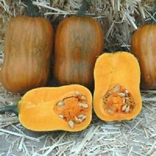 Squash Seeds 25 Honeynut Squash Butternut Vegetable Seed