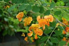 1x Colutea media Copper Beauty Rare orange flowering Senna bush shrub - 9cm pot