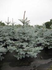 Picea pungens Edith - Blaufichte Edith