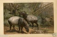 Stampa Antica 1892= Animali MAMMIFERI = TAPIRO = CROMOLITOGRAFIA Old Print