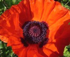 MASSIVE ORIENTAL POPPY! Giant Perennial Orange Red Papaver Oriental 100 Seeds