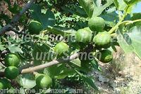 Feige ** Ficus carica ** mediterrane Frucht 10 frische Samen Balkon Kübel