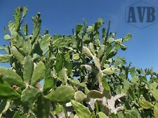Spineless Cactus - 12 Pads - Die Hard ✿ Reptile Food - Opuntia cochenillifera