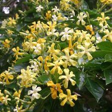 HYMENOSPURUM flavum Native Frangipani Seeds (N 15)