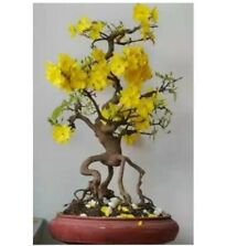 Indoor 10 Pcs/Bag Jasmine Rare Yellow Flower Potted Bonsai Garden Flowers Seeds