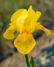 *Coronation* Tall Bearded Iris. Freshly Dug, Combined Shipping: Aug/Sep