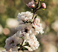 Leptospermum scoparium Manuka Tea Tree Seeds Compact Evergreen Beautiful Flowers