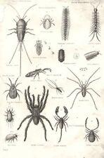 SPIDERS. Arachnida; Forbicina Vittata; Podura Villosa; Pediculus humanus 1880