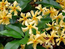 RARE 4 graines Jasmin étoilé de Corée(Trachelospermum Asiaticum)G802 SEEDS SAMEN