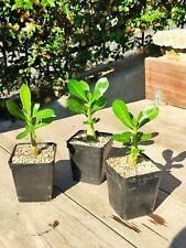 Adenium Obesum desert rose cactus succulent Bonsai Africa Arabia