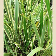 Abigarrada Nueva Zelanda Lino-Phormium Tenax Variegatum - 25 Tropical Seeds