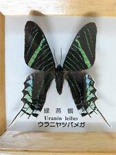 Uranin LEILUS Real Schmetterling grün und blau montiert & gerahmt 8.5 cm