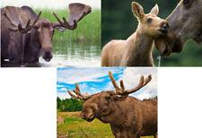 Moose - 3 3D Lenticular Postcard Greeting Cards