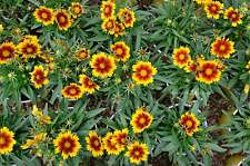 Coreopsis 'Daybreak' Red & yellow colourful flower for year after year in 9cm po