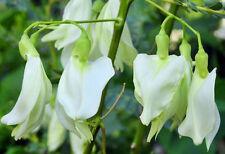 20 SEEDS WHITE SESBANIA GRANDIFLORA AGATTTI AQATI HUMMINGBIRD TREE MEDICINAL USE