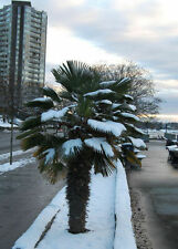 2 winterharte Wash.-Palmen schnellwüchsige exotische Pflanzen für den im Garten