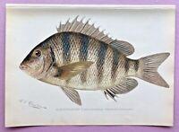 1900 RARE Antique DENTON FISH Print SHEEPSHEAD Archosarcus probatocephalus L@@K!