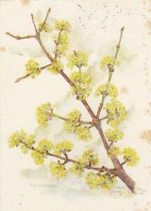 Zweig der Kornel-Kirsche gl1956 D1894
