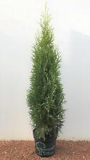 Edel Thuja Smaragd Hecken Lebensbaum, 80cm 2Liter Topf Qualität, Bestseller