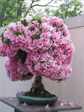 15 graines de Sakura Tree home croître fleurs Bonsai