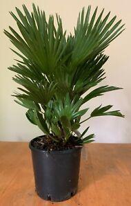 "Chamaerops humilis ""Vulcano"" Hardy. 19cm Pot 60-70cm"