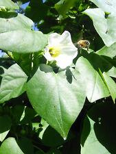 Rivea Corymbosa Organic Seed, Ololiuqui, Christmas Vine, Shaman Medicinal Plant