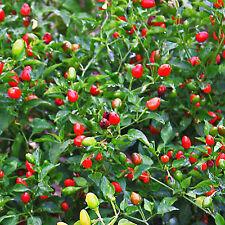 Chile Pequin,Bird Eye Hot Pepper Seeds. 40Ct