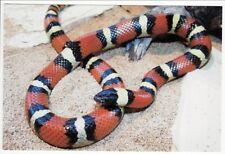 Postcard Mexican Milk Snake Closeup
