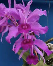 Cattleya lawrenceana New Import 4� (15)