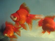 BUYGOLDFISHONLINE.COM Live Red Ryukin  Goldfish (L) for aquariums and ponds