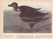 """1942 Vintage AUDUBON BIRDS #408 """"AMERICAN SCOTER"""" Color Art Plate Lithograph"""