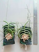 "Seedling size in 1/"" pot from Thailand Phal.cornu cervi Red fragrant flower rare"