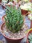 Haworthia pumila - Pearl Plant - 25 Seeds